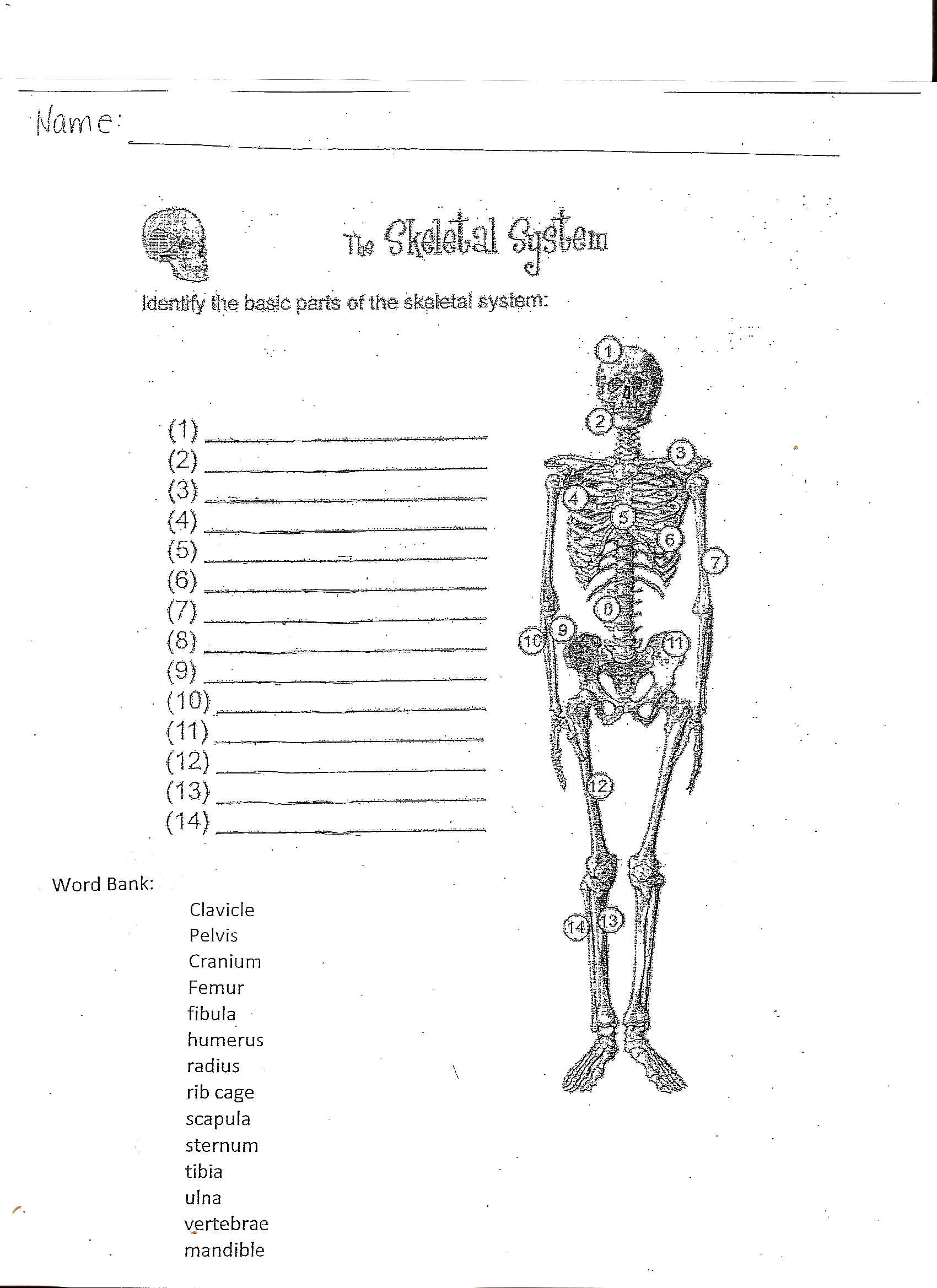 skeletal system worksheet worksheets releaseboard free printable worksheets and activities. Black Bedroom Furniture Sets. Home Design Ideas