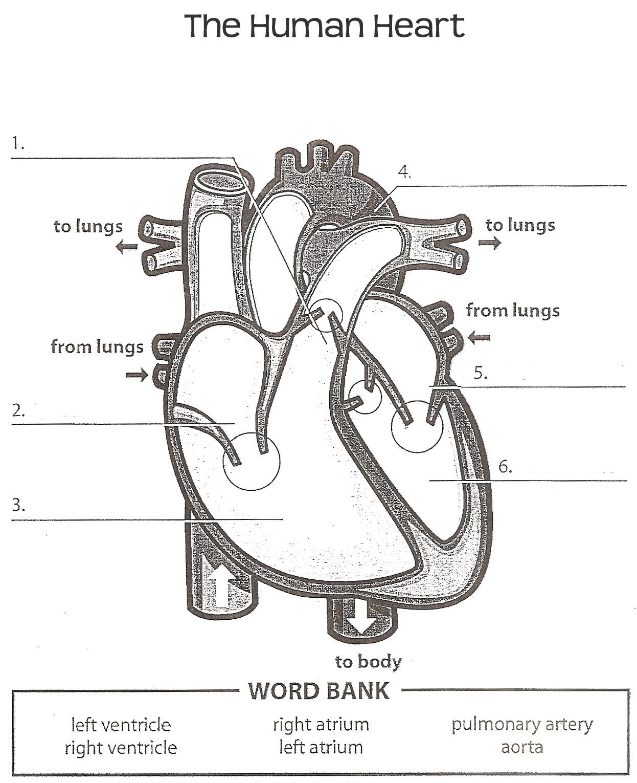 human heart worksheet | Human heart diagram, Heart diagram ...