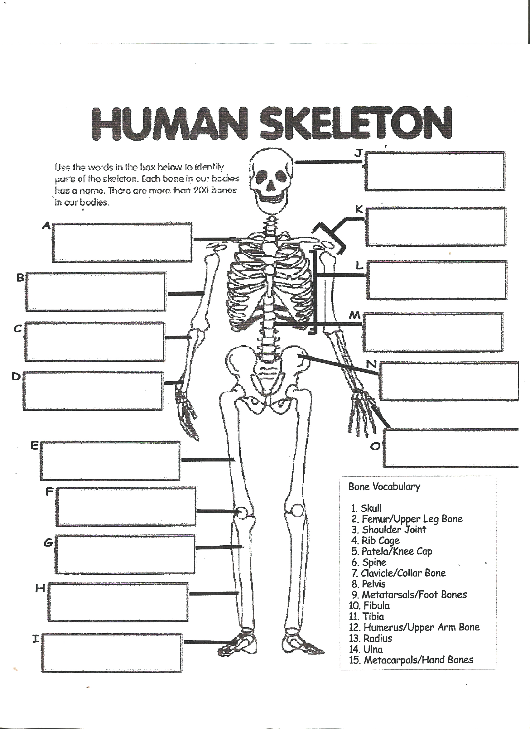 Printables The Skeletal System Worksheet Answer Key skeletal system labeling worksheet davezan the abitlikethis