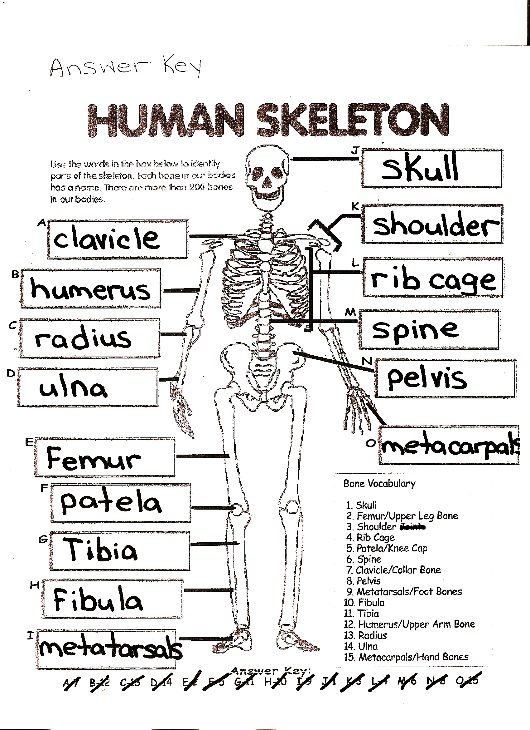 the human skeleton worksheet answers – citybeauty, Skeleton