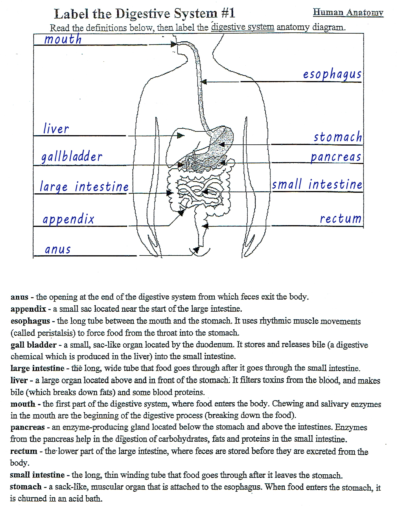 Human Digestive System - Diagram (labelled)